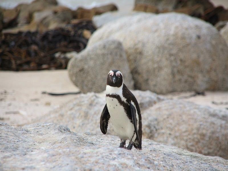 ケープ半島でペンギンに出会える2-1