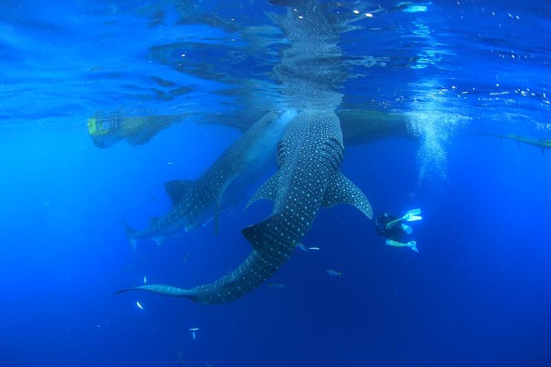 【インドネシア】ウエストパプアのジンベエの集まる海チェンデラワシクルーズ2