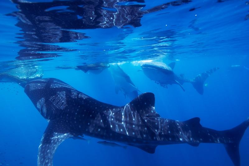 【インドネシア】ウエストパプアのジンベエの集まる海チェンデラワシクルーズ3