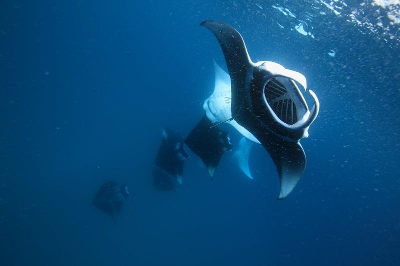 【モルディブ】 期間限定のスペシャル航海!バァ環礁でマンタ三昧クルーズ!!3