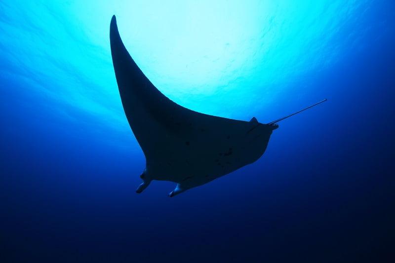【モルディブ】 期間限定のスペシャル航海!バァ環礁でマンタ三昧クルーズ!!4