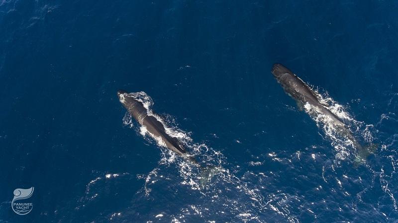 【インドネシア】ジュゴンと泳げる海≪アロール≫&マッコウクジラを狙え≪レンバタ島≫2