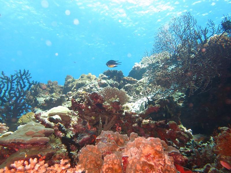 世界で最もサンゴの種類&数の多い地域1-1