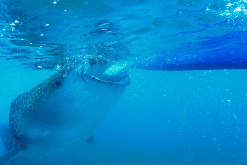 【モアルボアル】ジンベエと泳ぐ♪ オスロブダイビング写真