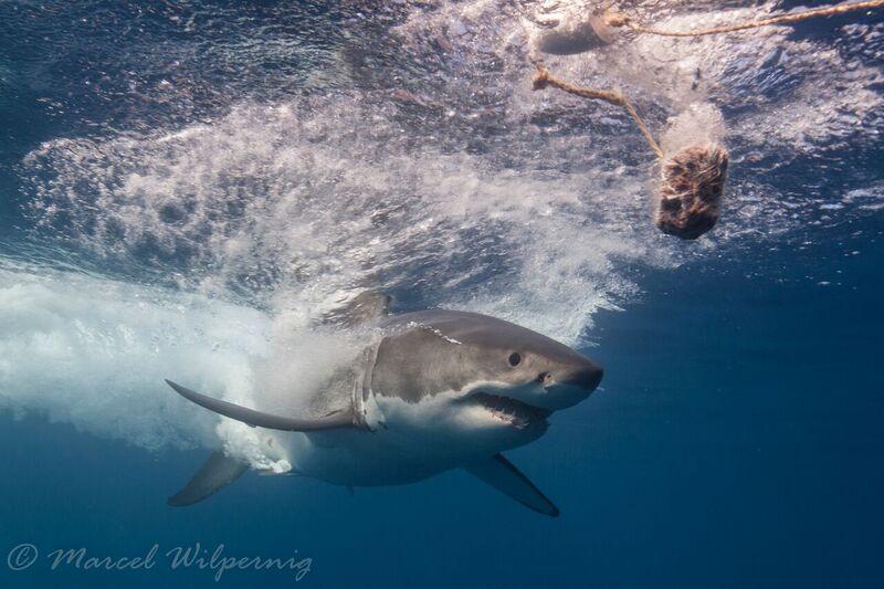 ホホジロザメを見たいなら『グアダルーペ』へ!!
