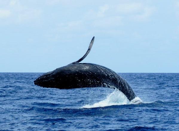 小笠原にザトウクジラのシーズンがやってきた写真