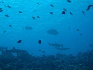 サメ@ブルーコーナー